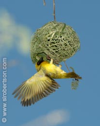 Masked Weaver Building Nest (1) - Click for large image