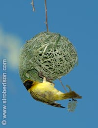 Masked Weaver Building Nest (2) - Click for large image