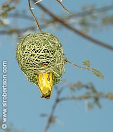 Masked Weaver Building Nest (3) - Click for large image
