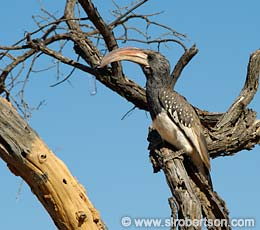 Monteiro's Hornbill - Click for large image