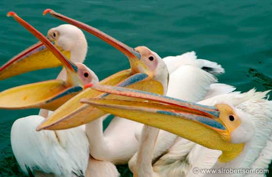 Photo: Hungry Pelicans