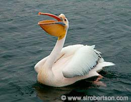 Pelican, Walvis Bay - Click for large image