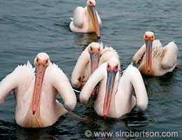 Pelicans, Walvis Bay - Click for large image