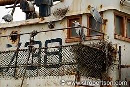 Heron's Nesting on Fishing Trawler (2) - Click for large image