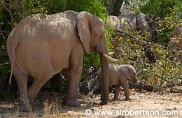 Mother and Baby Desert Elephants (2) - Click for large image