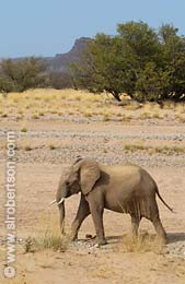 Young Desert Elephant - Click for large image
