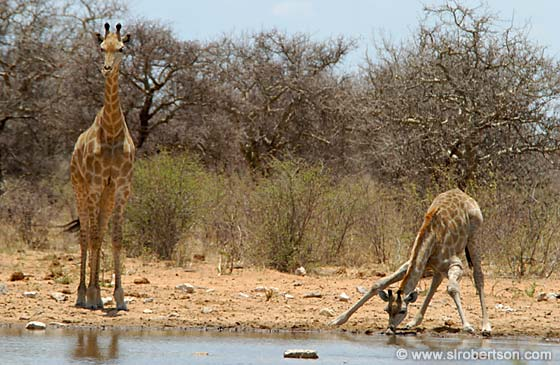 Photo: Mother and Baby Giraffe Drinking (2)