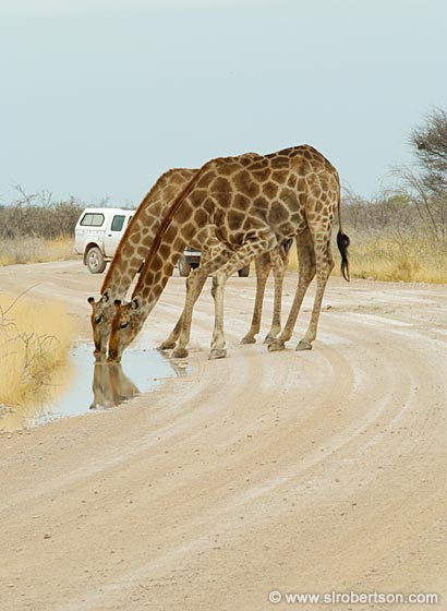 Photo: Giraffe's Drinking After a Rainstorm (1)