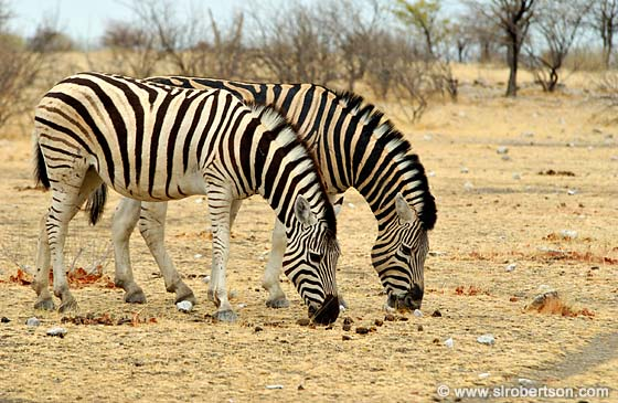 Photo: Grazing Zebras (1)