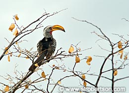 Hornbill - Click for large image