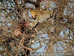 Leopard with Springbok Kill - Click for large image