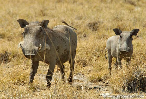 Photo: Mother and Baby Warthog (1)
