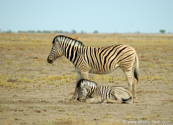 Photo: Mother and Baby Zebras