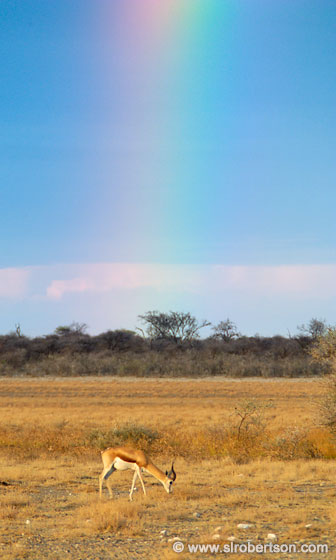 Photo: Springbok Under Rainbow