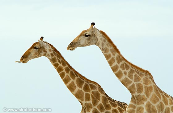 Photo: Two Giraffes (1)