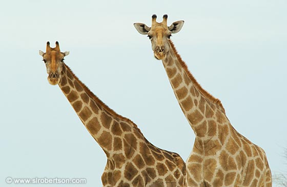 Photo: Two Giraffes (2)