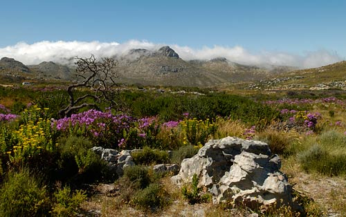 Cape mountains and wildflowers