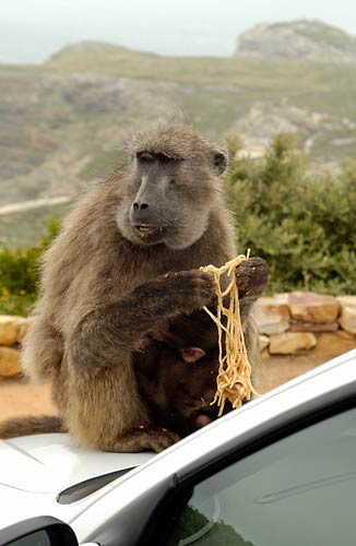 Cape Point baboons enjoying pasta