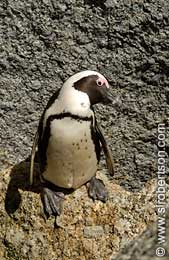 African Penguin (Jackass Penguin) - Click for large image