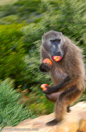 Photo: The Apple Thief