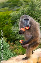 The Apple Thief - Click for large image