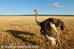 Ostrich Showing Off Its Plumage - Click for large image