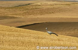 Overberg Wheat Fields - Click for large image
