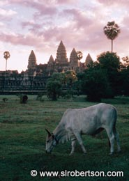 Angkor Wat Cow - Click for large image