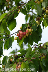 Bergheim Cherry Tree 2