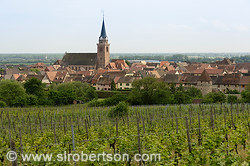 Bergheim Vineyard 1
