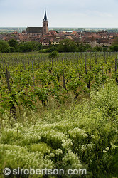 Bergheim Vineyard 2