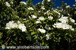 Monte Alban White Flowers