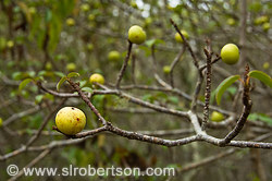 Poison Apple Tree 1