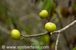 Poison Apple Tree 2
