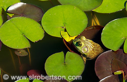 Frog in Lily Pond 1
