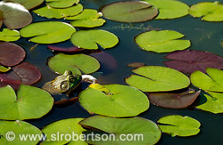 Frog in Lily Pond 2