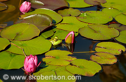 Frog in Lily Pond 3